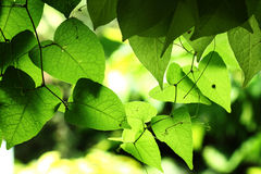 Green leaves background. Green leaves in the garden royalty free stock image