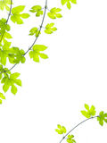 Green leaves background. Green grape leaves on white background Royalty Free Stock Image