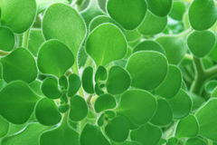 Green leaves background. Background of saturated green leaves Stock Photography