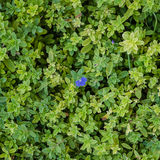 Green leaves background. Green leaves as background image Royalty Free Stock Photo