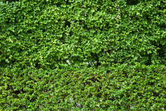 Green leaves background. The beauty of the tree leaf background Stock Image