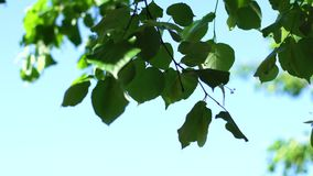Green leaves on a background of the sky. Green leaves on a background of the blue sky stock video