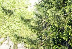 Green leaves background, branches of spruce in the public garden in Catania, Sicily, Italy.  royalty free stock photography
