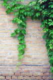 Green leaves on the background of a brick wall Stock Photography