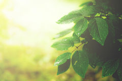 Green leaves background Royalty Free Stock Photos