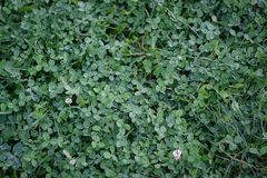 Green leaves background.Clover leaf with dew drops Royalty Free Stock Photo