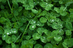 Green leaves background.Clover leaf with dew drops Stock Photos