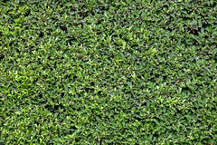 Green leaves background. Green color leaves wall background Stock Photo