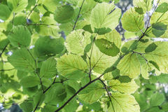 Green leaves background of Corylus avellana Stock Photos
