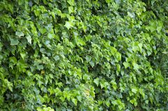 Green leaves. Background in daylight Royalty Free Stock Images