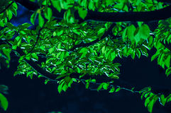 Green leaves background. Green leaves in the evening lights Royalty Free Stock Image