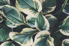 Green leaves background. Exotic home plant Royalty Free Stock Photo