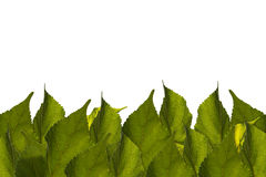 Green leaves Background frame, white,space for text content Stock Photo