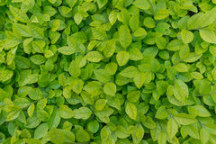 Green leaves background Royalty Free Stock Images