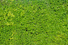 Green leaves background. A fresh green leaves background Royalty Free Stock Image