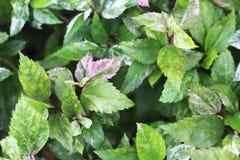 Green Leaves Background. Green Leaves Background in The Garden Royalty Free Stock Photos