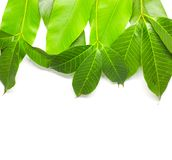 Green Leaves background. Nature Tree royalty free stock images