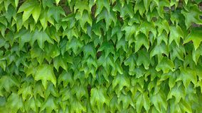Green leaves background. Green vegetative background, green wall of leaves stock image