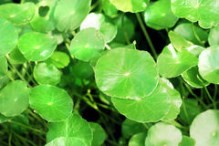 Green leaves background. Green leaves of herb background Royalty Free Stock Photography