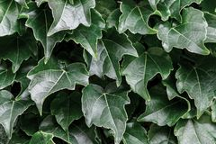 Green leaves background. Natural fresh abstract pattern.  stock image