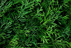 Green leaves for background. Natural pattern of thuja dark green leaves Royalty Free Stock Images