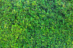 Green leaves background. The natural green leaves texture background Stock Photos