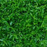 Green leaves background or the naturally walls texture Ideal fo Stock Images