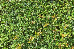 Green leaves background or the naturally walls texture Ideal for use in the design fairly royalty free stock photo