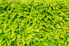 Green leaves background, nature plant wall Royalty Free Stock Photography