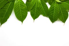 Green Leaves background. Nature Tree stock photos