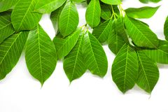 Green Leaves background. Nature Tree royalty free stock photography