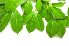 Green Leaves background. Nature Tree royalty free stock photos