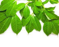Green Leaves background. Nature Tree royalty free stock image