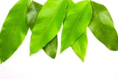 Green Leaves background. Nature Tree stock images