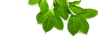Green Leaves background. Nature Tree royalty free stock photo