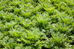 Green leaves background. Nature wallpaper Royalty Free Stock Photo