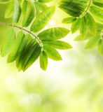 Green  leaves background . Royalty Free Stock Image