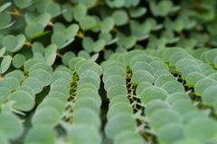 Green Leaves Background Shallow Depth Of Field Royalty Free Stock Photography