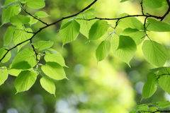 Green leaves background in spring day Royalty Free Stock Photography