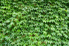 Green leaves background structure Stock Image