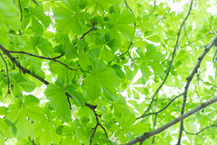Green leaves on a background of the sun from the. Bottom through the crown of the tree Royalty Free Stock Photo