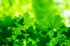 Green leaves Stock Photography