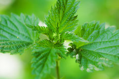 Green leaves of nettle Stock Photography