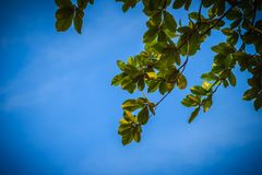 Green leaves background of Terminalia catappa tree on blue sky. Stock Image