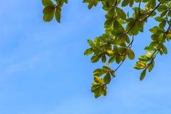 Green leaves background of Terminalia catappa tree on blue sky. Stock Photos
