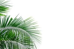 Coconut tree leaves on white isolated background for green foliage backdrop royalty free stock photos