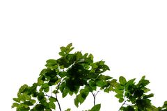Tropical tree leaves with branches on white isolated background for green foliage backdrop royalty free stock photos