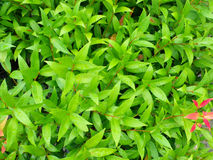 Green leaves background texure Royalty Free Stock Photo