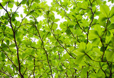 Green leaves background. Background of tree leaves - uprisen angle Royalty Free Stock Images