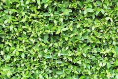 Green leaves background. Green leaves wall Stock Photography